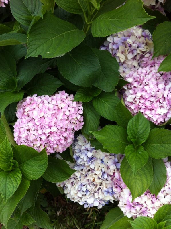 asturies flors